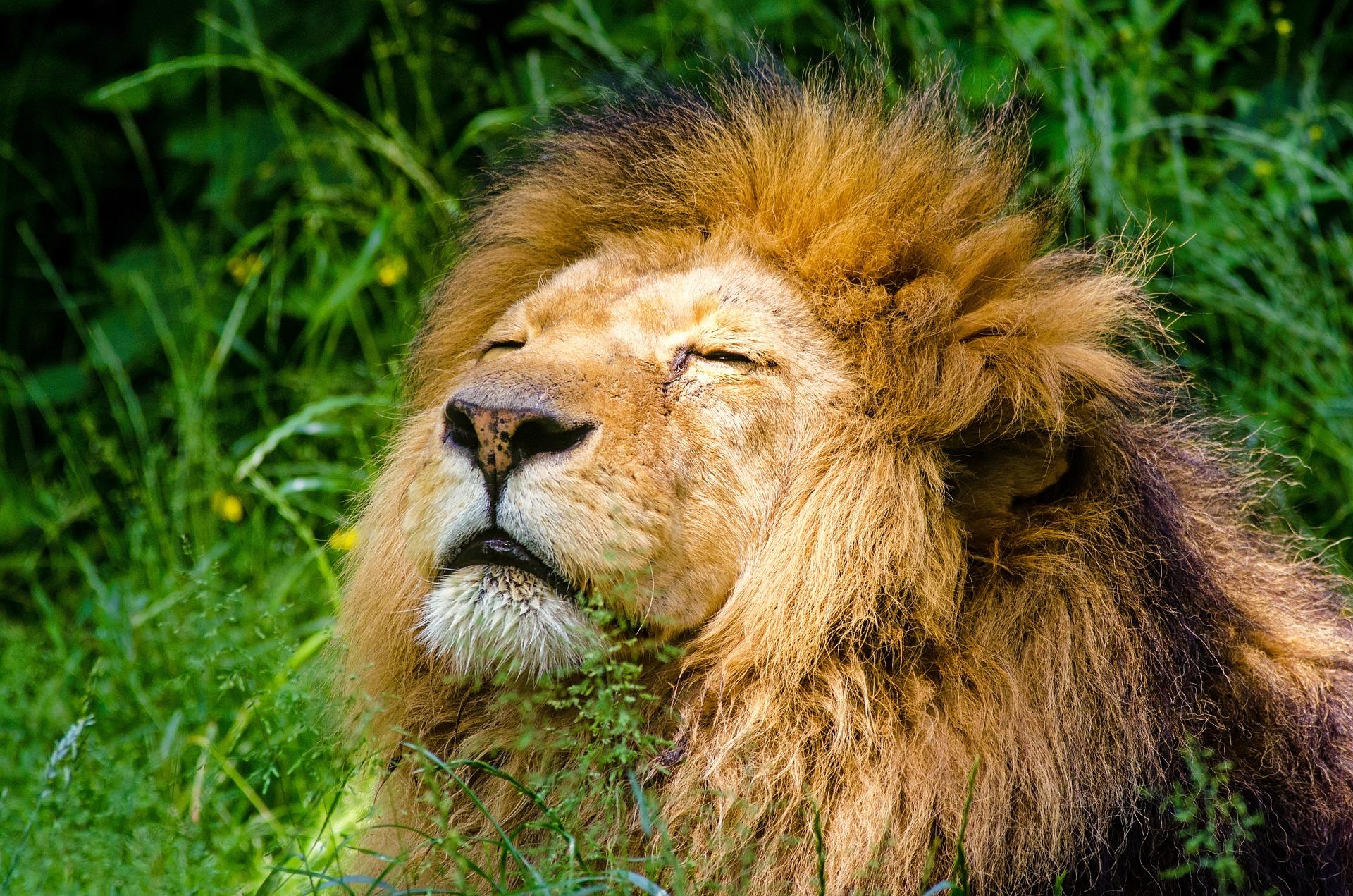 foto di leone nella giungla