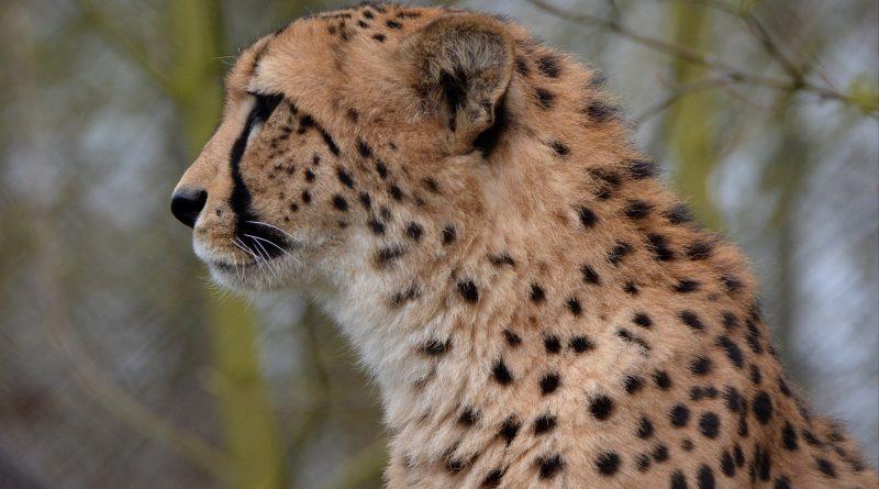 immagine ghepardo